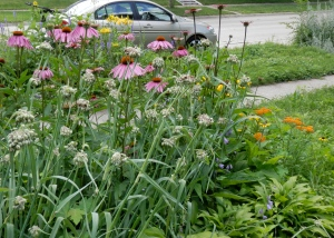 My front flower garden has lots of hardy native flowers.
