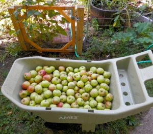 Harvesting apples from the neighbors big apple tree