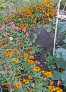 The garden's marigold border